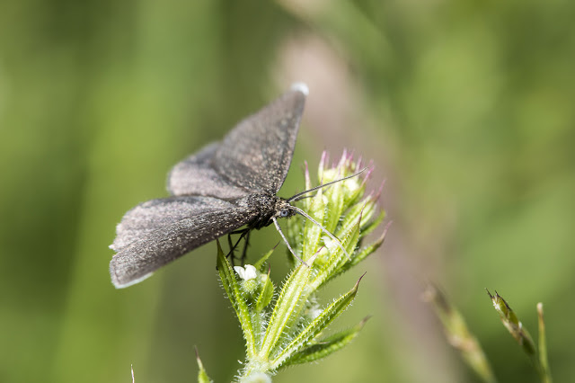 A Chimney Sweeper Moth