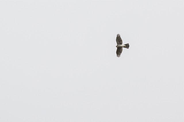 High Flying Sparrowhawk
