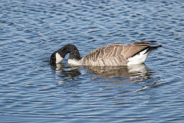 Canada Goose dabbling