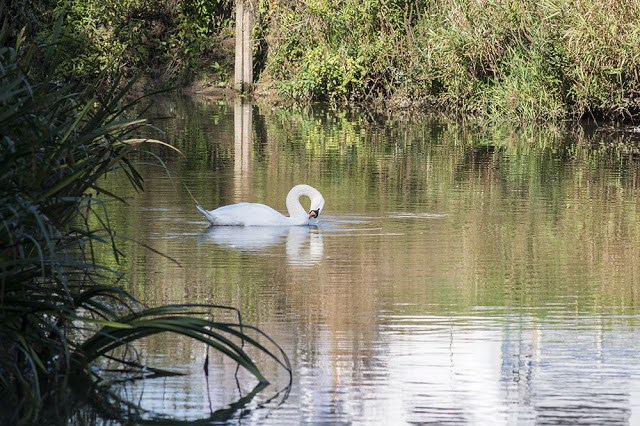 Mute Swan swimming the River Ouse