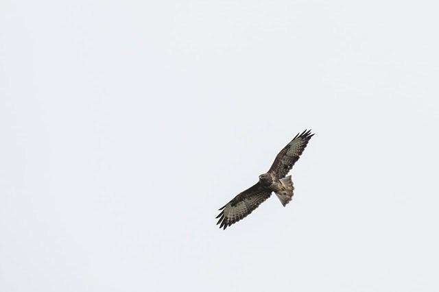 Common Buzzard on the Turn