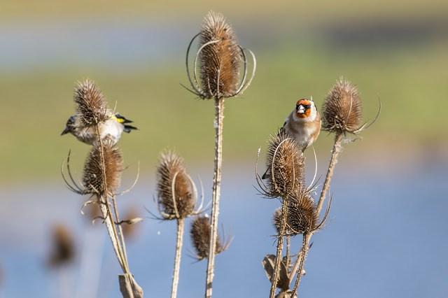 Goldfinch feeding