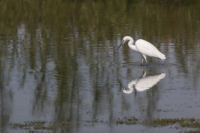 Little Egret on the Main Pits of the Floodplain Forest