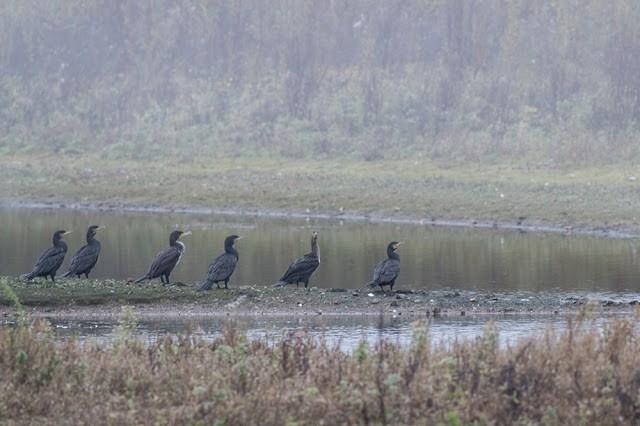 Cormorants at the Floodplain Forest