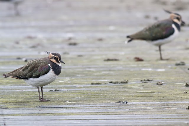 Another of the Lapwing