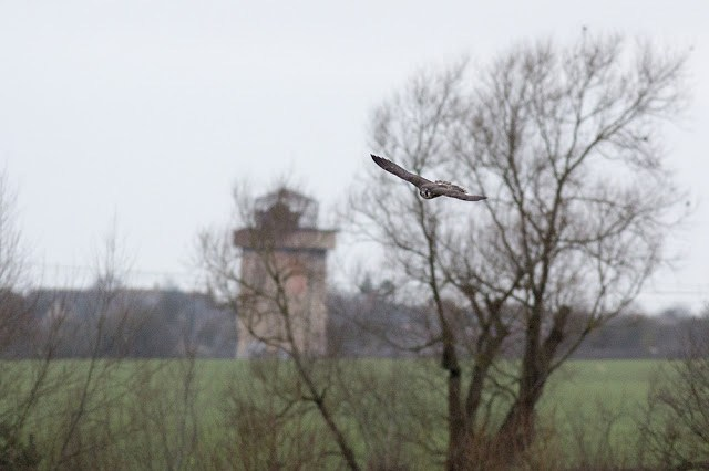 Peregrine with Water Tower in Background
