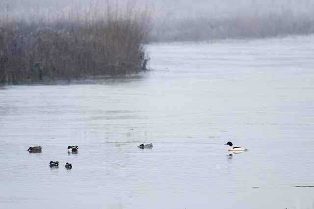 Goosander, Shoveler and Teal