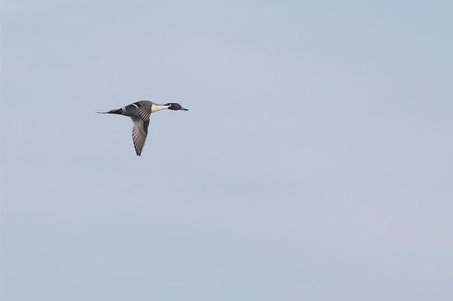 Male Pintail in Flight