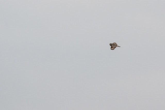 High Flying Owl