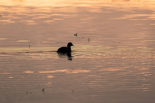 Coot swimming at Sunset