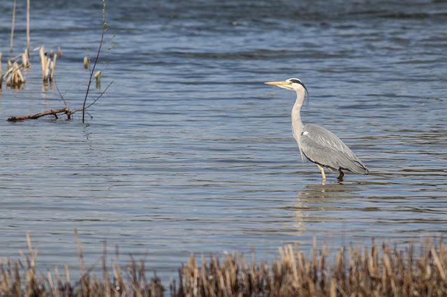 Grey Heron in the water