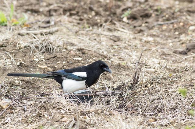 Black-billed Magpie Study 5