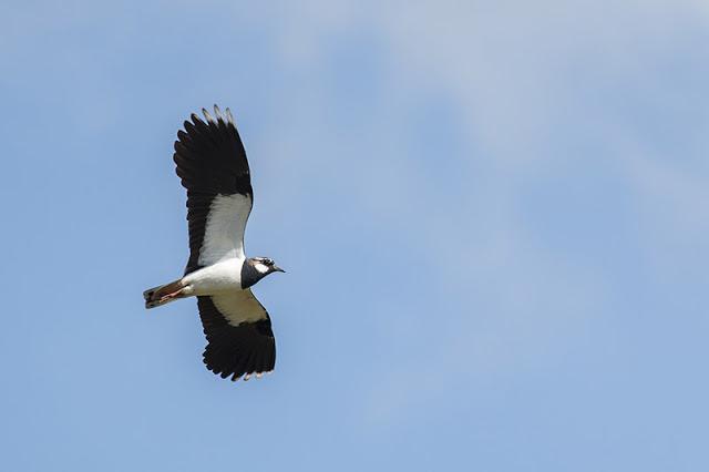 Lapwing in flight again