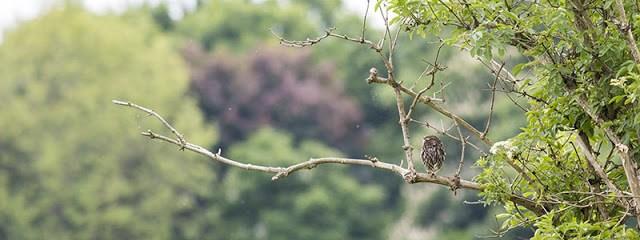 Look East Little Owl