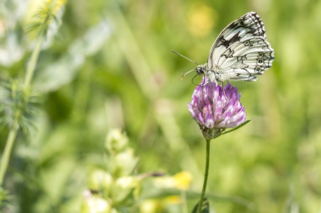 Another Marbled White