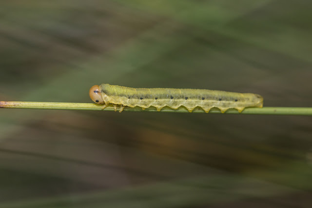 Dolerus ferrugatus larvae