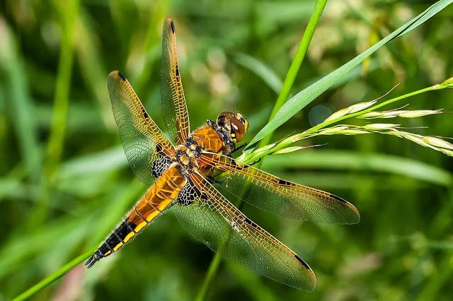 Four-Spot Chaser Male (Libellula quadrimaculata) Photographed in Loughton Valley, Milton Keynes 2013