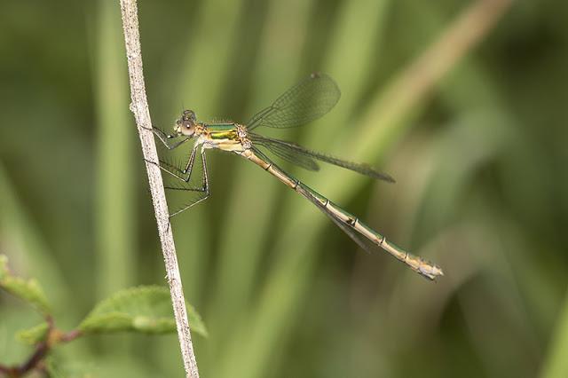 Female Emerald Damselfly
