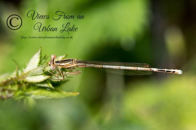 White-Legged Damselfly Immature (Platycnemis pennipes) - Teardrop Lakes, Milton Keynes (2014)