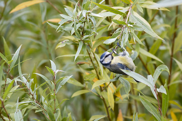 Hanging Around - Blue tit on willow