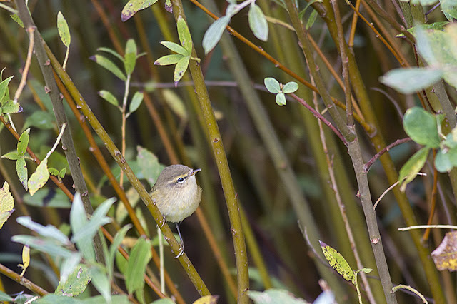 Chiffchaff in the willow