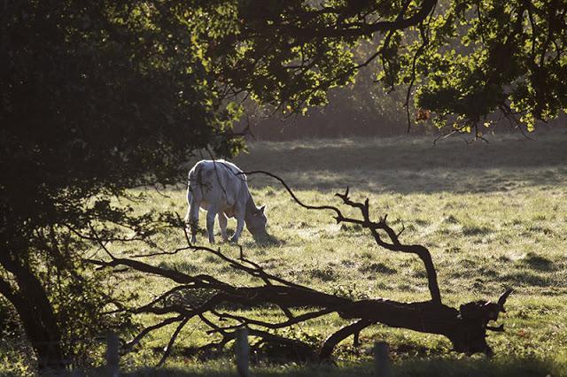 Cow through the trees