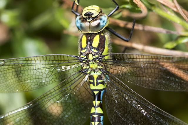 Southern Hawker up close