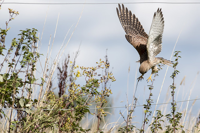 In for the Kill - Kestrel dropping into long grass