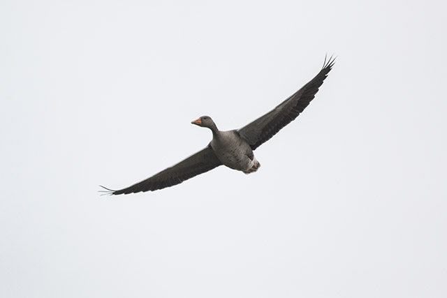 Greylag Goose flying over