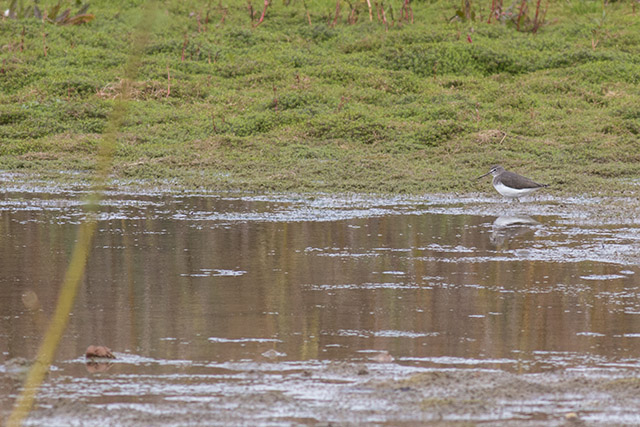 Distant Green Sandpiper