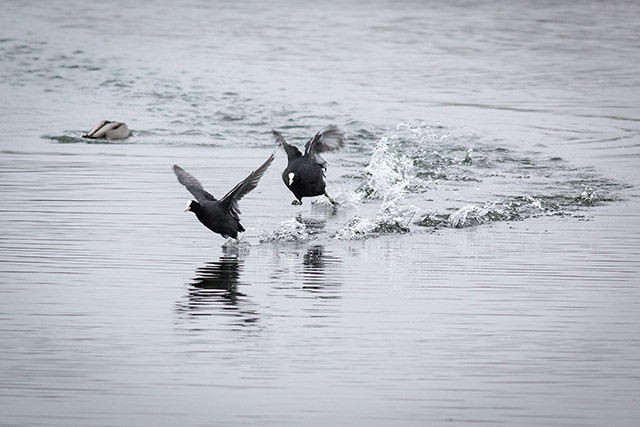 Battling coots