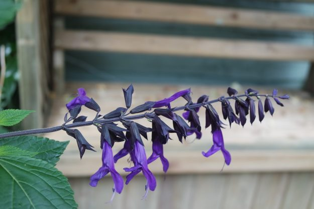 salvia amisted purple flowers and bench in background