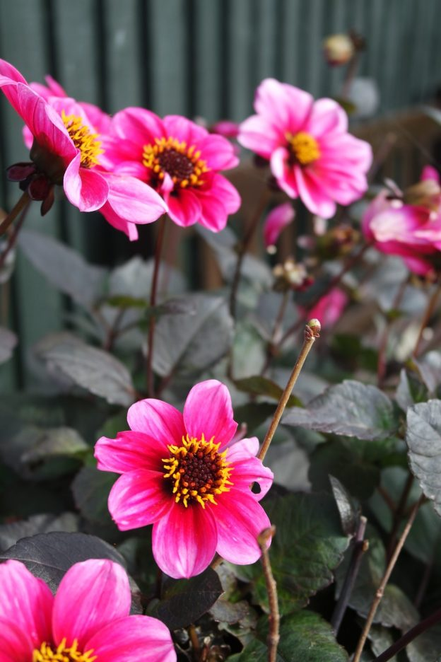 pink flat daisy style flower dark leaves
