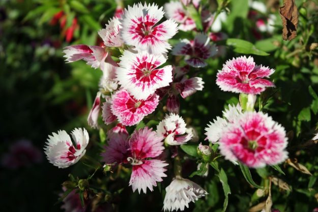 sweet william pink and white flowers - dianthus