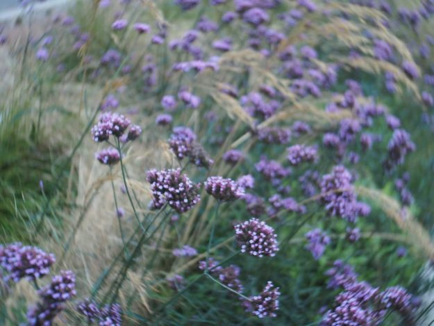 purple verbena and grasses Oxford Road, Manchester 31-10-2018 lensbaby-trio-28-with swirling effect around edf of the frame
