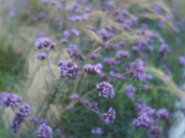 Purple verbena and grasses - Oxford Road, Manchester 31-10-2018 lensbaby trio 28 velvet