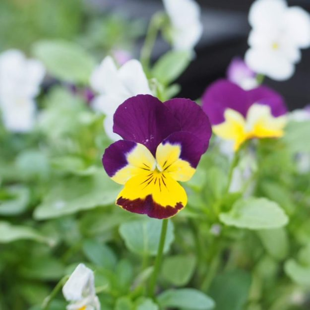 viola yellow and purple viola lensbaby trio 28