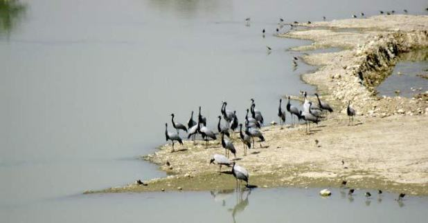 The birds have a special fly zone that leads to Pakistan commonly known as Indus Flyway Zone. (Photo via newsofbird.com)