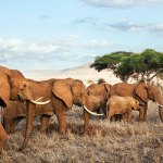 A herd of elephants in Tsavo West National Park, Kenya.(Photo byPanos/Martin Roemers, via AfricaRenewal)