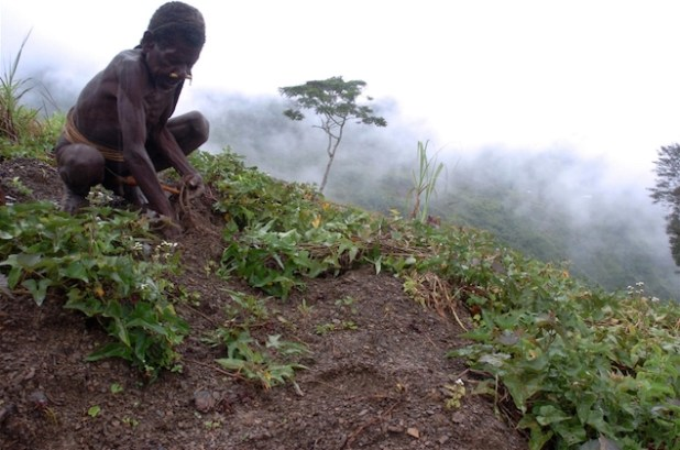 A local Papuan man tends to his sweet potato plants on a hillside in Papua. (Photo by Jefri Aries/IRIN)