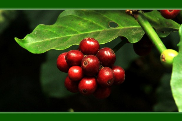 Beans on a coffee plant. (Photo by Nithin Thekkumpurath, Creative Commons License)