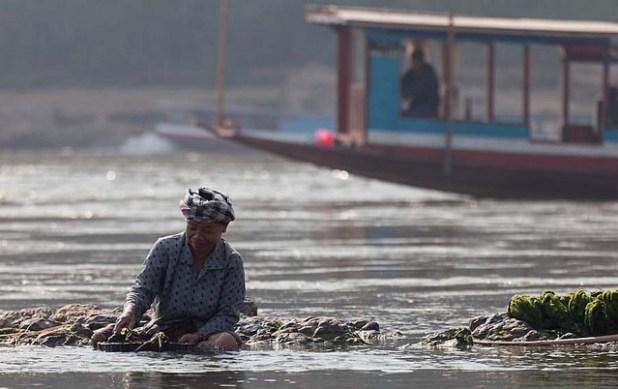 A farmer picks freshwater weed in the Mekong Basin. (Photo via International Rivers, Creative Commons License)