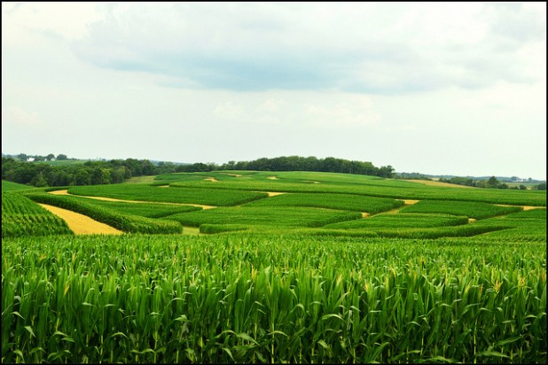 Corn and oat fields in northeast Iowa. (Photo by keeva999, Creative Commons License)