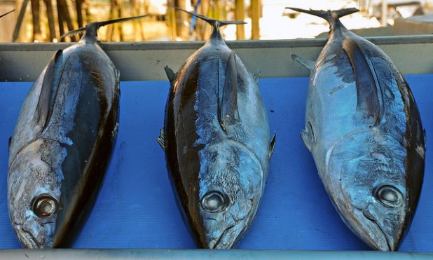 Wild albacore tuna at Steveston Fish Market in Richmond. (Photo by roaming-the-planet, Creative Commons License)