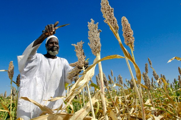 A farmer is harvesting sorghum plants from seeds donated by the FAO in Sudan. (Photo Africa Renewal, Creative Commons License)