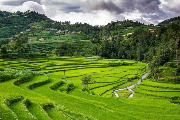 Rice fields in Nepal. (Photo by Sharada Prasad CS, Creative Commons License)