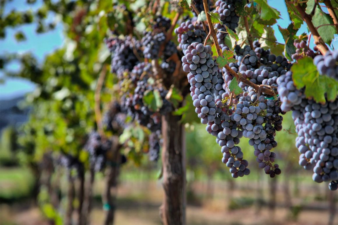 Pinot Noir Grapes - National pinot noir day   View the VIBE Toronto