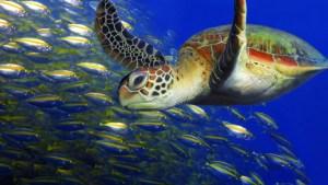 sea turtle NEVIS