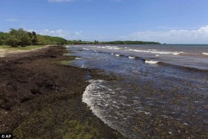 sargassum in shoys