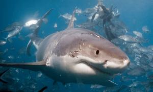 great white sharker